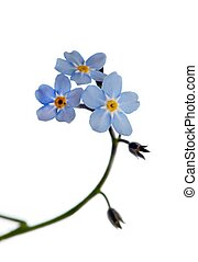 Forget-me-not - Close up of forget-me-not isolated on white