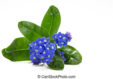 Forget me not flower, closeup, isolated
