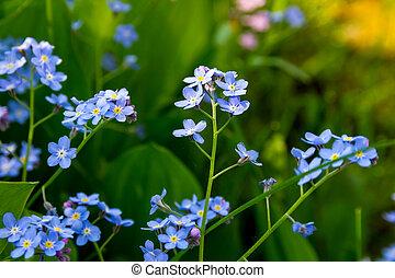 Forget-me-not flowers (Myosotis sylvatica). - Blue...