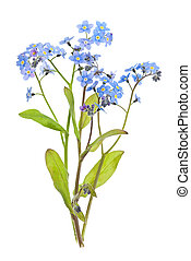 Forget-me-not flowers on white - Arrangement of...