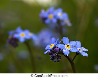 Forget me not - forget me not flowers