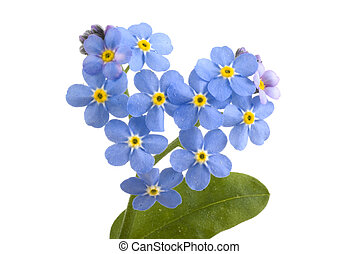 Forget me not.. - Forget me not, sweet little flowers on a...