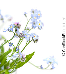 forget me not isolated on white