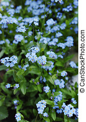 Forget me not  - spring blue garden flowers