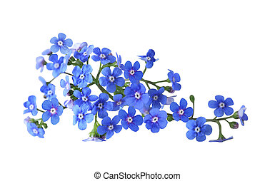 Forget me not - Bundle of fresh blue forget me not flower