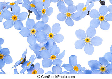 forget me not - Studio Shot of Blue Colored Forget-me-not...