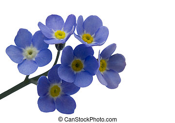 Forget me nots - A close up of forget-me-nots with room for...