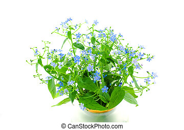 forget-me-not\'s bouquet on a wnite background