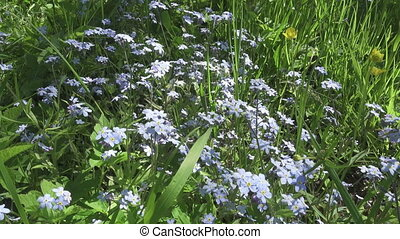 Forget-me-nots Myosotis flowers on a forest glade in sunny day