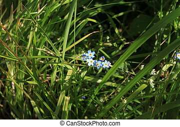 forget-me-tender in the grass