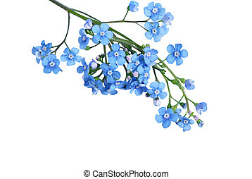 Forgetmenot - Blue For Get Me Not flower isolated on white