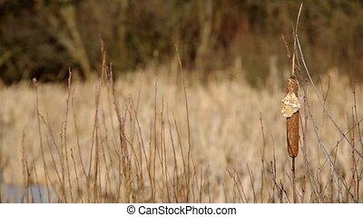 Forgotten reed