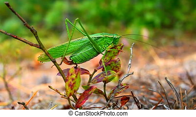Fork-tailed Bush Katydid (Scudderia furcata) feeding on...