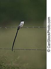 Fork-tailed flycatcher, Tyrannus savana