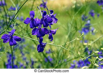 Forking larkspur blue flowers - Forking larkspur (Consolida ...