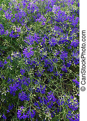 Forking larkspur Consolida regalis - Flowers of forking ...
