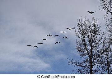 formação, múltiplo, voando, gansos, canadense
