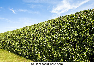 A formal hedge, like you would find in well groomed yard