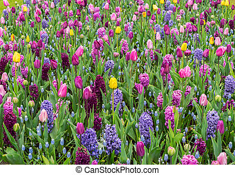 Colourful Tulips and Hyacinth Flowerbed background in an Spring Formal Garden, retro toned