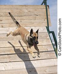 formation, chien policier