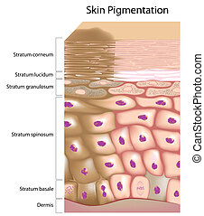 Formation of uneven skin tone - Overactive melanocyte...