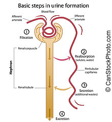 Formation of urine - Nephron diagram showing formation of ...