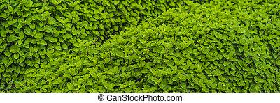 formato, área, bandera, vegetales, crecer, largo, fresco, plano de fondo, menta, orgánico, plantación, plantación, menta