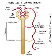 formazione, di, urina