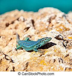 formentera lizard Podarcis pityusensis formenterae -...
