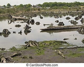 Former Forest - The remains of an old cedar forest right in...