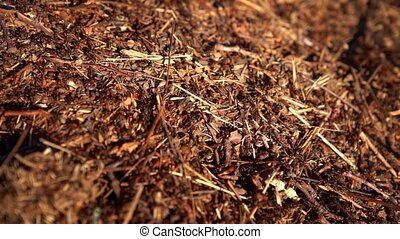 Formica rufa, also known as the red wood ant, southern wood ant, or horse ant
