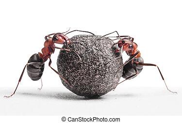 formiche, rimbombante, pietra, due