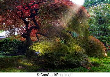 formiddag sol, stråler, på, gamle, japansk ahorn træ, ind, fald