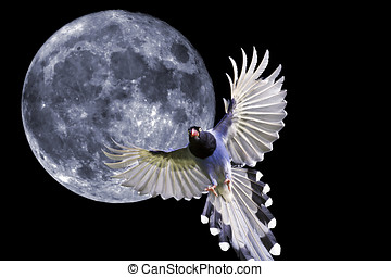 formosa blue magpie in flight against full moon background