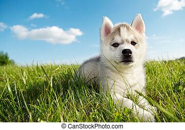 fornido, perrito, siberiano, perro