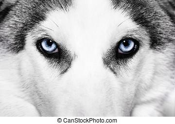 fornido, primer plano, tiro, perro
