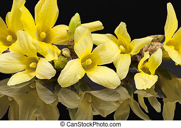 forsythia, 春, 隔離された, 黄色, 黒い背景, 花