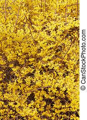 forsythia, 花, 黄色, 手ざわり