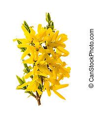 forsythia., 開くこと, 隔離された, 春, 白い花