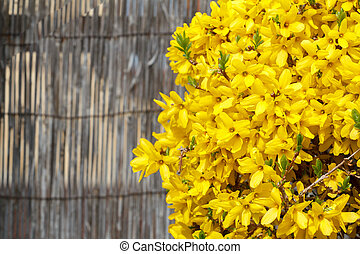 Beautiful Yellow blossoms of forsythia bush in garden