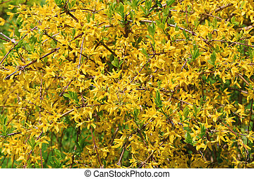 Yellow forsythia blooming nature background