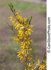 Forsythia blooming in spring