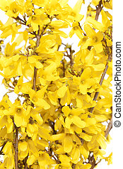 Forsythia branch with yellow flowers on white background