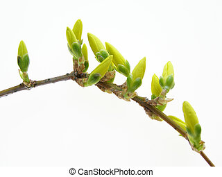 Spring forsythia branch with buds against white background