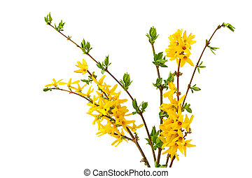 Forsythia Bundle - Bunlde of forsythia flower isolated on...