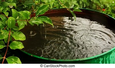 Forsythia bush and rainwater barrel