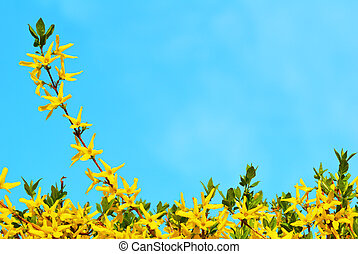 Forsythia bush in bloom in springtime with blue sky as a background