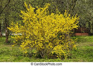 wild bush blooming forsythia - yellow flowers