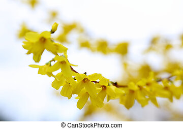 Details of a blossoming forsythia branch in spring.