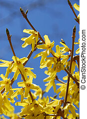 forsythia, flor, cielo azul
